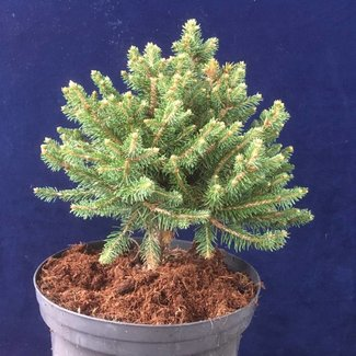 Picea abies 'Gold Nugget'