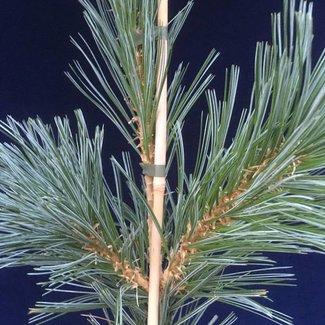 Pinus flexilis 'Van der Wolf's Piramid'