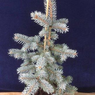 Picea pungens 'Niemetz'