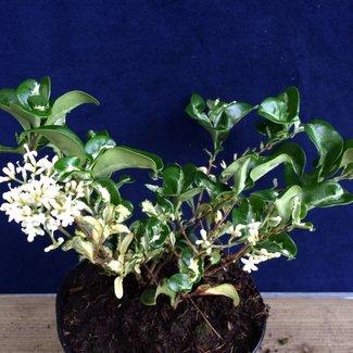 Ligustrum japonicum 'Variegatum'