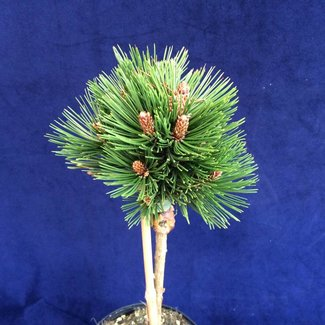 Pinus heldreichii 'Pygmy'
