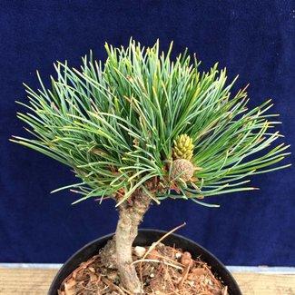 Pinus cembra 'Stoderzinken 1'