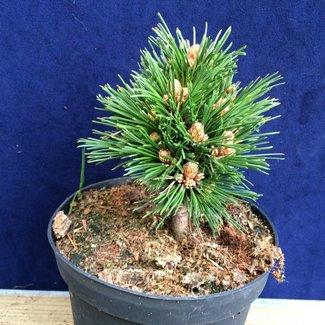 Pinus heldreichii 'Helios'