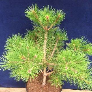 Pinus densiflora 'Kim'