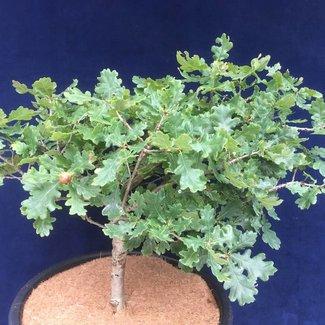 Quercus robur 'Gnom'