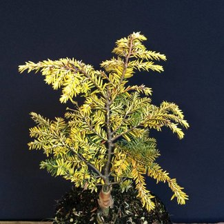 Tsuga canadensis 'Everitt's Golden'