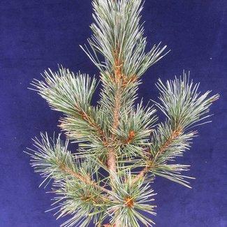 Pinus monticola 'Crawford'