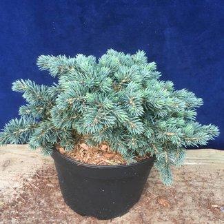 Picea pungens 'Hulsdonk Mini'