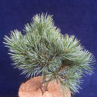 Pinus aristata 'Como # 2'