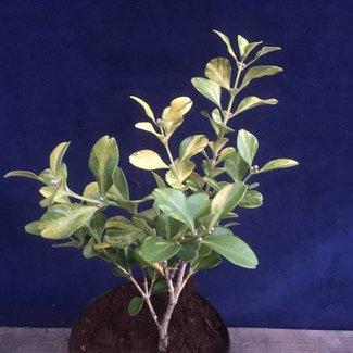 Buxus microphylla  var. japonica 'Kinsha'