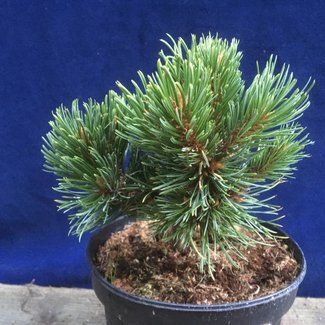 Pinus aristata 'Sleepy'