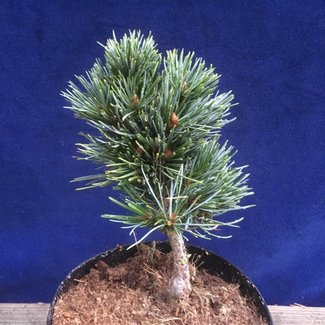 Pinus aristata 'Tow Out'