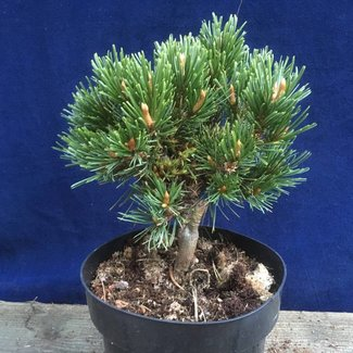 Pinus aristata 'Fairplay'