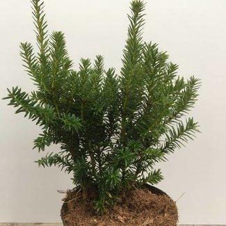 Taxus cuspidata 'Lescow'