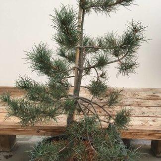 Pinus monticola 'Undulata'