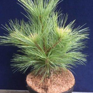 Pinus schwerinii ( 'Sdlg-1 aufrecht' )