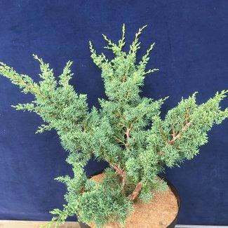 Juniperus chinensis 'Blaauw'