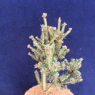 Picea glauca 'Julian Pott's Monstrosa'