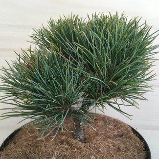 Pinus cembra 'Ikarus'