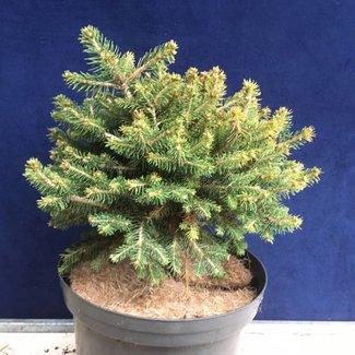 Picea abies 'Krènek'