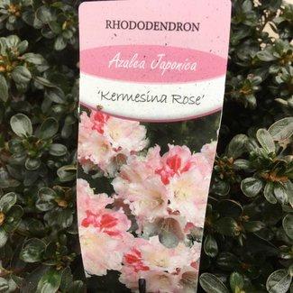 Rhododendron (AJ) 'Kermisina Rose'