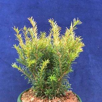 Taxus baccata 'Kleiner Grüner'®