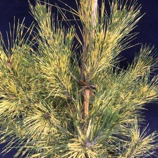 Pinus densiflora oculus 'Draconis'