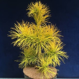 Pinus contorta 'Chief Joseph'