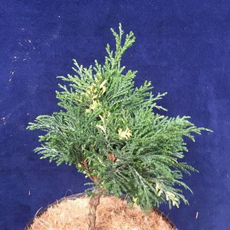 Chamaecyparis lawsoniana 'Guernsey Cream'