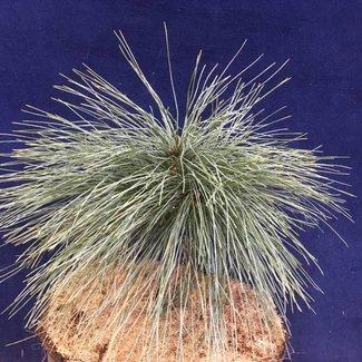 Pinus strobus 'Joe's Best Blue'