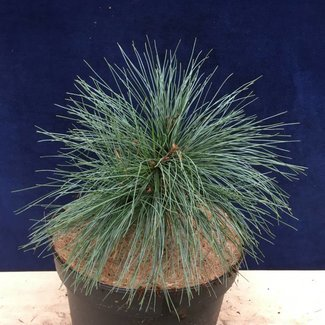Pinus strobus 'Prazska Zahrade'