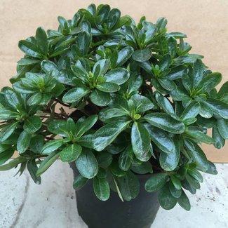 Rhododendron obtusum 'Negligé (R)