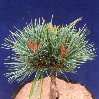 Pinus koraiensis 'Amba'