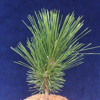 Pinus thunbergii 'Shioguro'