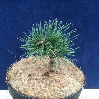 Pinus mugo 'Sisi'