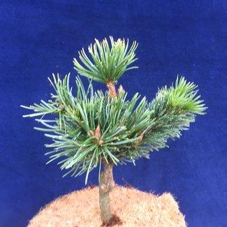 Pinus arstata 'Betwixt'