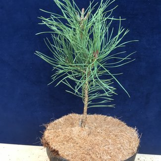Pinus sylvestris 'Brentmoor Blonde'