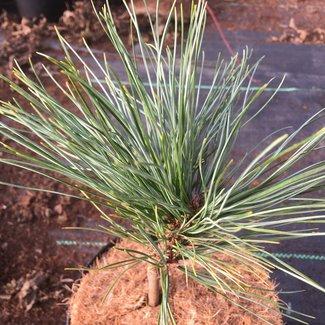 Pinus koraiensis 'Anastasia'