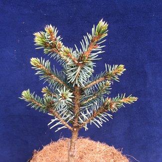 Picea omorika 'Berliner Weeper WB'