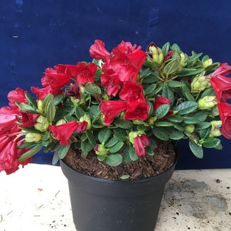 Rhododendron repens 'Lilly Bell Love'