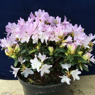 Rhododendron impeditum ' Snipe Roze'