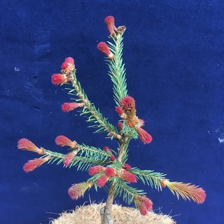 Picea abies 'Red Man'