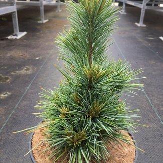 Pinus koraiensis 'Dongling'