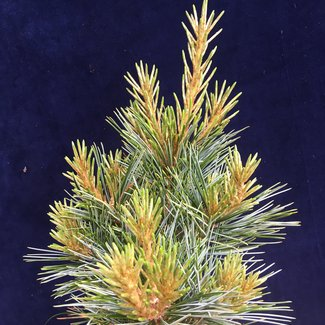 Pinus koraiensis 'Baishan'
