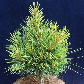 Pinus koraiensis 'China Boy'