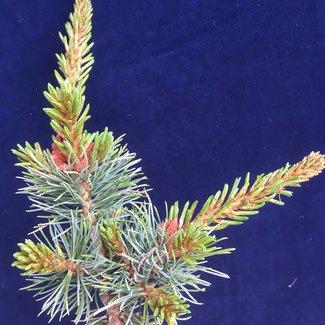 Pinus parviflora 'Perdido'