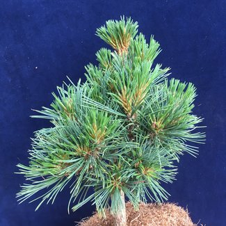 Pinus flexilis 'Snowy II'