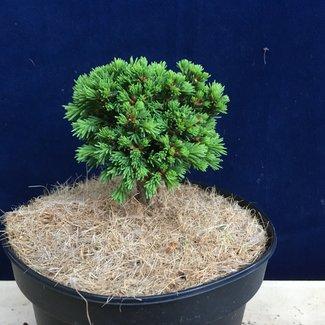 Picea abies 'Dumpy'