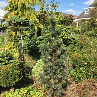 Pinus aristata 'Wüstemeyer'