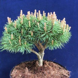 Pinus mugo 'Almhütte'